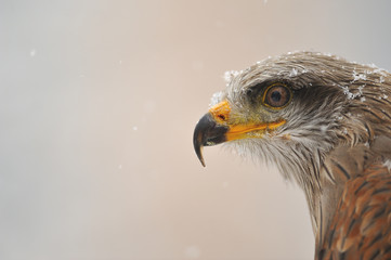 Fototapete - Isolated black Kite portrait