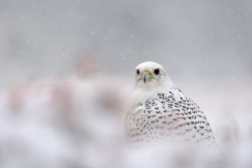 Fototapete - Gyrfalcon on snowy winter