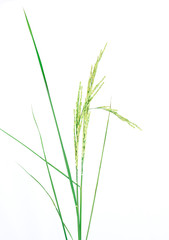 fresh rice plant isolated on white background