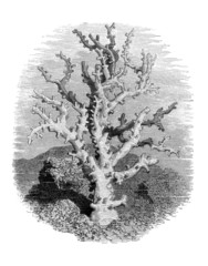 Coral - Corail - Koralle (Caryophilia)