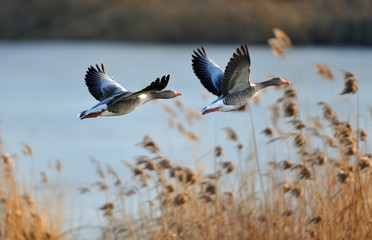 Gray geese in flight