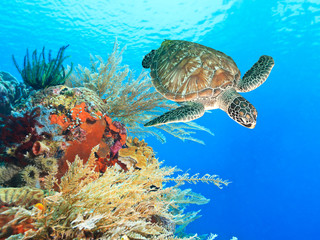 Fotobehang Koraalriffen Turtle and coral