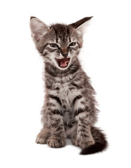 gray striped kitten with a skeptical grin