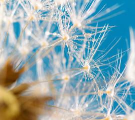 Fotorolgordijn Paardebloemen en water poetic dandelion with dew