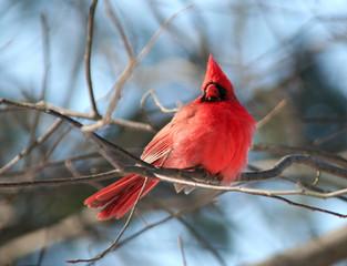Red Cardinal Bird on Tree