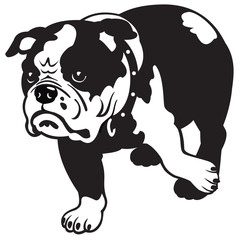 english bulldog black and white