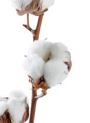 Baumwollblüte macro