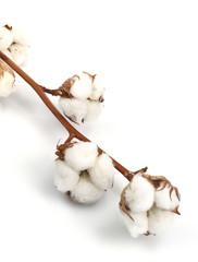 Baumwollblüten an Ast