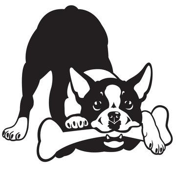 boston terrier black and white