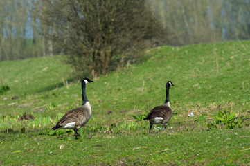 Canada gooses in Dutch nature