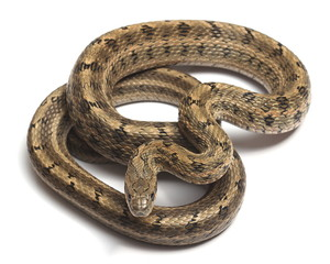 Steppes Ratsnakes (Elaphe dione) over white