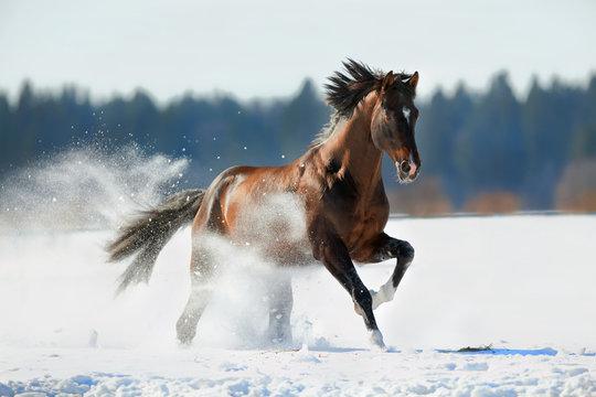 Brown horse runs in winter landscape