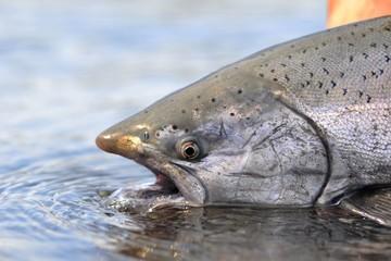 Printed kitchen splashbacks Fishing king Salmon caught while fishing