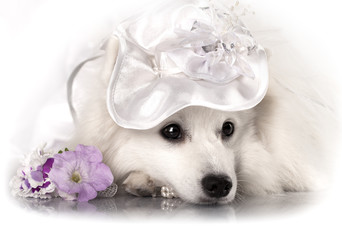 Japanese white spitz  in a hat
