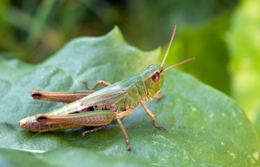 the grasshopper on leaf