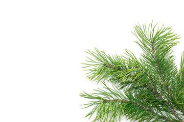 Branch of Christmas tree