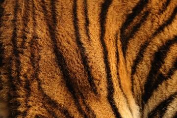 Tigre ,manto