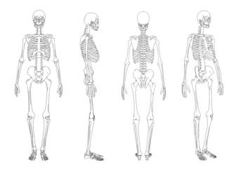 3d wireframe of skeleton