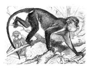 Monkey - Singe - Affe