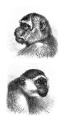Face : Monkeys