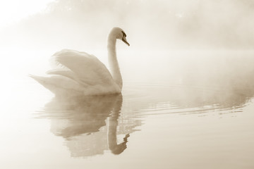 Stores à enrouleur Cygne Mute swan Cygnus olor gliding across a mist covered lake at dawn