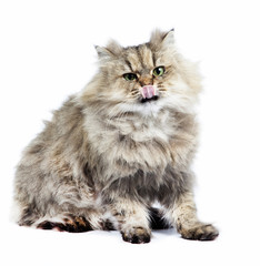 Persian cat golden chinchilla with tongue