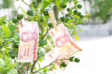 100 baht thai money on tree lemon