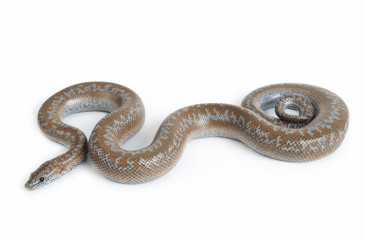 Rosy Boa on White Background