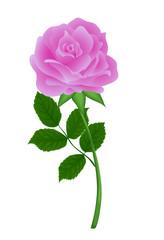 nature pink flower rose