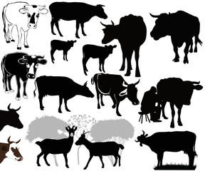 Goat Cow animals calf isolated white background