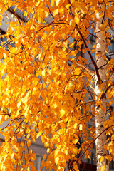 Aluminium Prints Birch Grove Golden leaves