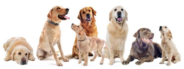 labradors et golden retrievers