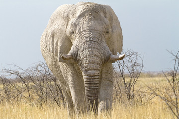 elephant threatening