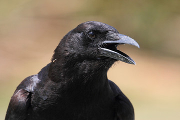 Fotoväggar - American Crow (Corvus brachyrhynchos)