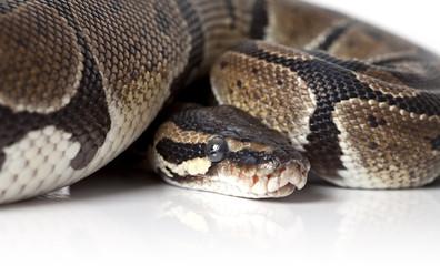 Portrait of python snake closeup