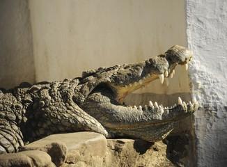Denti da coccodrillo