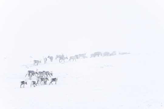 Reindeer in empty snowy landscape
