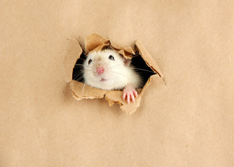 funny little rat on paper background