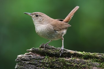 Fotoväggar - House Wren On A Stump