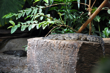 Krokodile (Jungtiere)