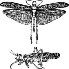 Locust schistocerca gregaria