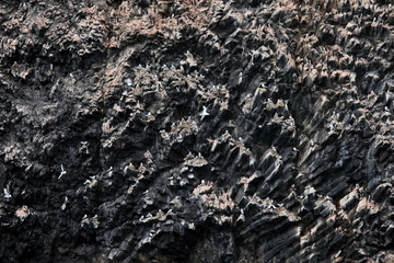 Rookery on basalt rocks - colony of birds on Arctic rocks