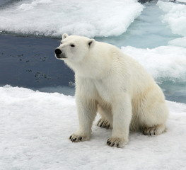 Polar bear in natural environment