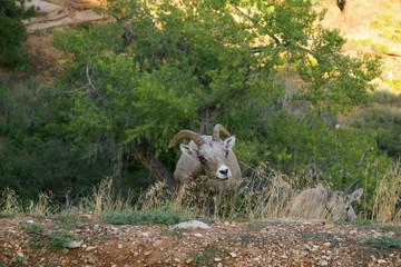 Big Horn Sheep ( famale )