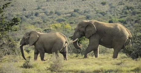 Elefanti in fila