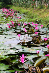 Water lily on Mekong River at Can Tho, Vietnam