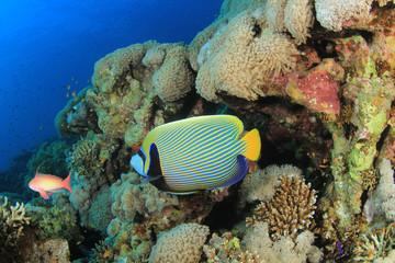 Emperor Angelfish on coral reef