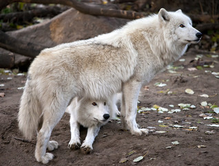 White wolves couple