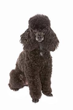 black miniature poodle dog sitting