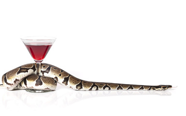 Royal Python with glass of red wine